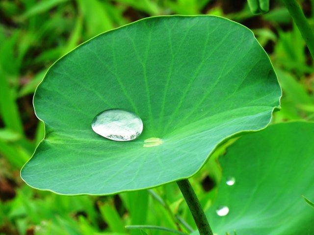 MAT064 - hydrophobic lotus leaf.jpg