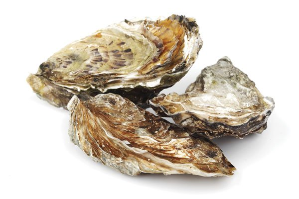 feasibility of oyster shell as cement Each cage contains up to 100–150 oyster shell collectors, which remain in the cages where the spat continues to grow until market size is reached during this period the cages are lifted periodically, the oysters cleaned of any harmful marine growths, and dead or stunted oysters are removed.